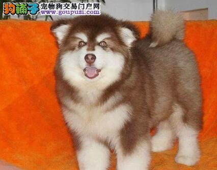 武汉正规犬舍出售品质高价格低的阿拉斯加犬 完美品相