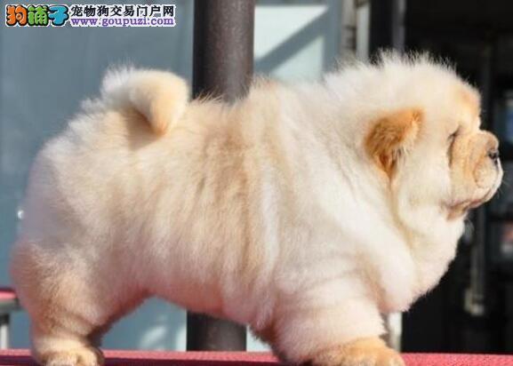 售海口自家繁殖的纯种松狮幼犬 可以免费送货上门