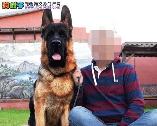 大头黑脸锤系的重庆德国牧羊犬低价出售中 品相极佳