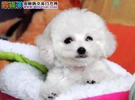 六安精品高品质泰迪犬宝宝热销中签署质保合同