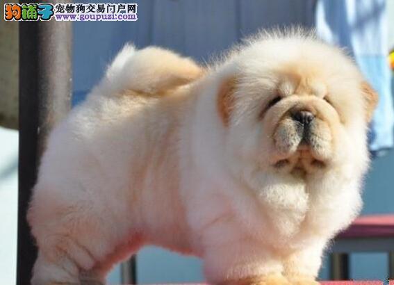 精品松狮犬天津待售 保纯种健康 签终身质保协议可送货