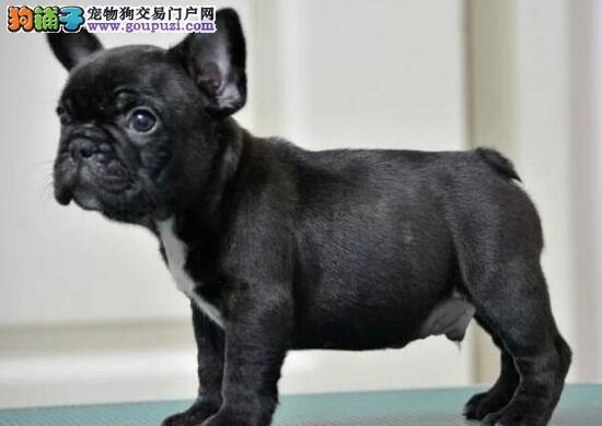 九江养殖场出售顶级斗牛犬花色好品种齐全带血统