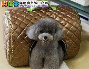 厦门正规犬舍直销出售巨型贵宾犬 多种幼犬任君选择哦