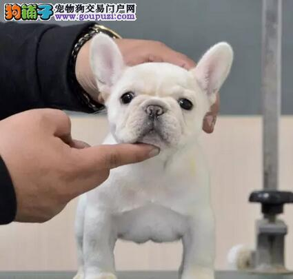 出售法国斗牛犬幼犬品质好有保障签订协议包细小犬瘟热