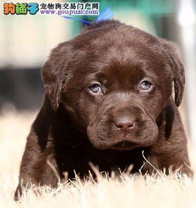 导盲犬拉布拉多西宁热卖 保纯保健康 终身免费饲养指导