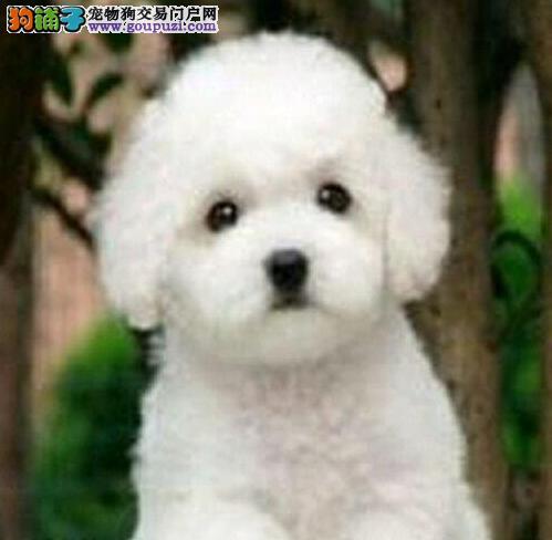 促销出售纯种卷毛广州比熊犬 正规狗场繁殖保证质量