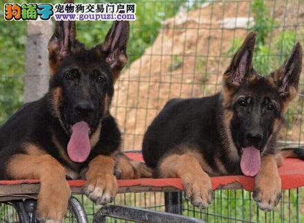 出售西宁纯种锤系德国牧羊犬 骨骼大骨量足 可现场看狗