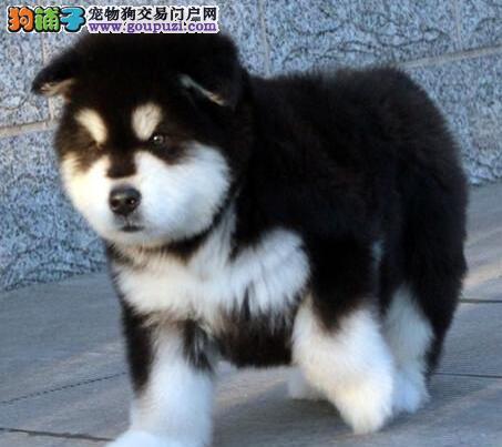武汉哪里有卖阿拉斯加犬的 纯种阿拉斯加犬多少钱