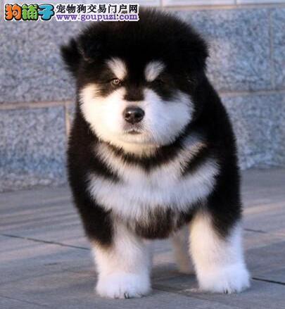 精品犬舍长期出售,萨摩,金毛,哈士奇,阿拉斯加,
