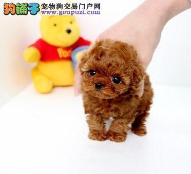 可爱韩系泰迪犬低价转让 国外引进欢迎来南宁直接购买
