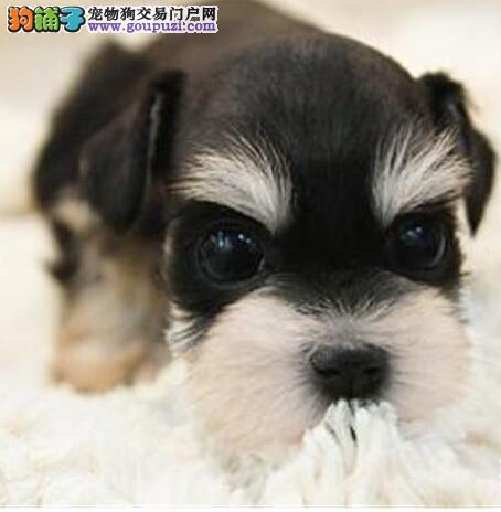 大胡子小老头的昆明雪纳瑞幼犬找爸爸妈妈 签订合同