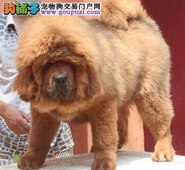 超大型的藏獒幼犬太原出售 品相完美 气势磅礴
