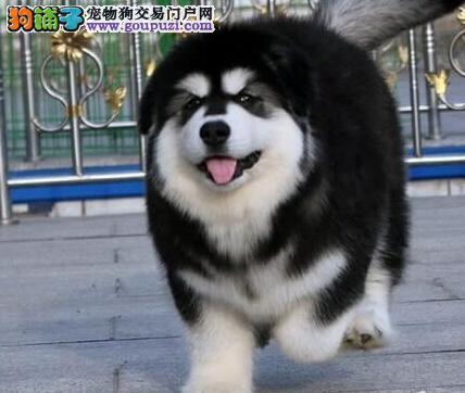 精品双十字阿拉斯加雪橇犬西安狗场直销 可办理证书