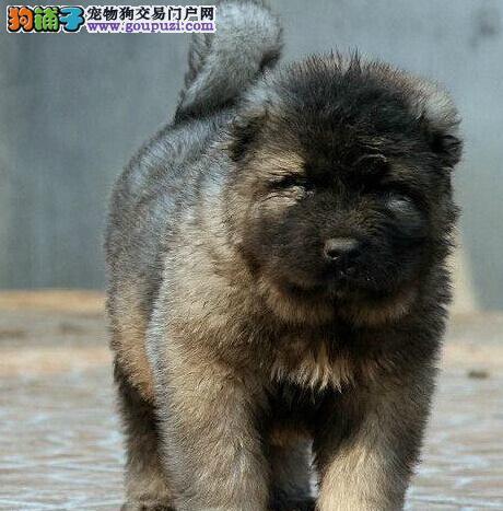 青岛犬舍出售高大威猛的高加索犬 可提前联系我预定犬