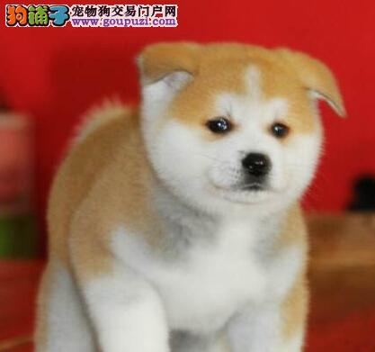 太原出售听话聪明的秋田犬宝宝 品相极佳 忠诚好养