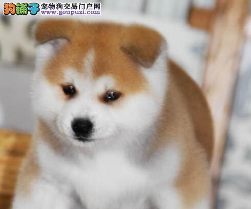 CKU犬舍认证天津出售纯种秋田犬我们承诺终身免费售后