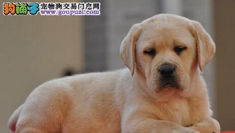 CKU犬舍认证出售高品质拉布拉多我们承诺售后三包