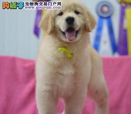 出售骨量足毛量好的双血统杭州金毛犬 犬舍值得信赖