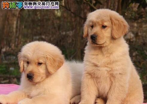 家养纯种金毛犬转让苏州地区购犬可免费送货