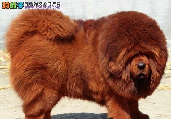 出售纯种藏獒吊眼吊嘴大狮头大骨架藏獒犬