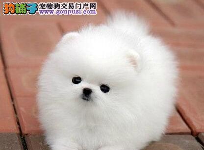 重庆犬舍低价转让赛级品质哈多利版博美犬 有证书