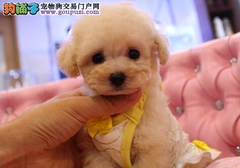 超级精品泰迪犬,三针齐全保健康,讲诚信信誉好