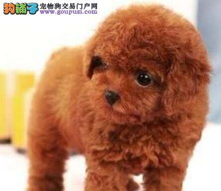 深圳售家养火红贵宾,健康100%保证,可视频看现狗