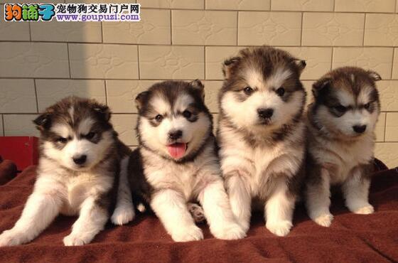 武汉本地养殖场热销阿拉斯加雪橇犬 可签署售后协议