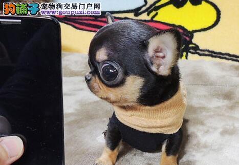 专业的吉娃娃犬舍终身保健康假一赔万签活体协议