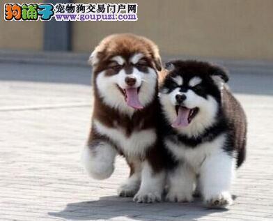 南京出售精品纯种阿拉斯加幼犬/超帅气 健康纯种