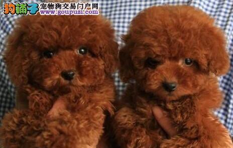 低价促销韩系广州贵宾犬 外地可视频可代办空运