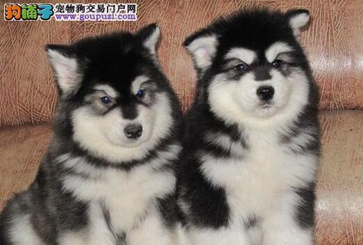 自家繁殖的常州阿拉斯加幼犬低价出售 可免费送狗上门