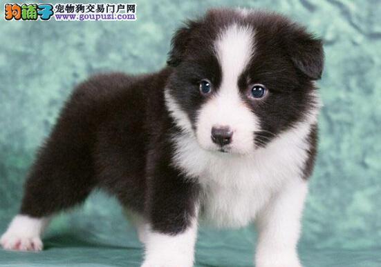 郑州热销家养纯种边牧幼犬七白到位 上门购买有优惠