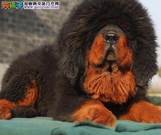 CKU濮阳精品藏獒幼犬低价出售 狮子头 价格合理 可预订