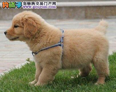 赛级双血统的南昌金毛犬找新主人 我们承诺售后三包