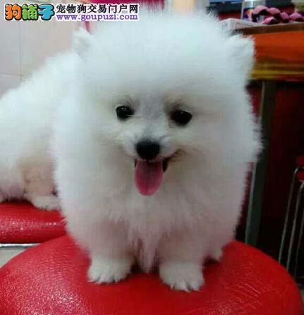 正规养殖基地直销郑州超级萌宠博美幼犬 赠送用品