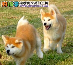 专业的秋田犬犬舍终身保健康可签订活体销售协议