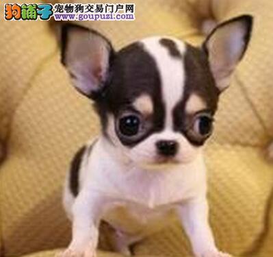 纯种大眼睛苹果头吉娃娃幼犬漂亮可爱包健康可上门看狗