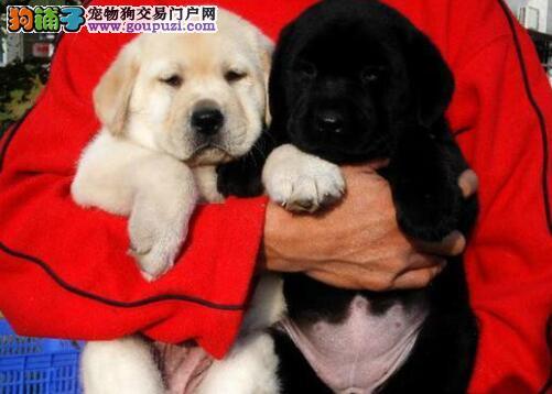 南京知名犬舍转让完美品相的拉布拉多犬 多只供您选