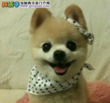实体店直销深圳博美犬哈多利球形体公母都有
