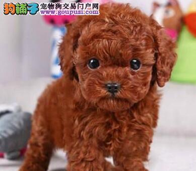 正规犬舍繁殖纯种泰迪犬出售 售后签协议 赠送用品