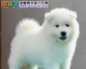 深圳专业狗场热卖微笑天使萨摩耶 公母都有买一增一