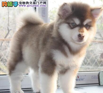 大型犬舍直销出售阿拉斯加雪橇犬 深圳周边可上门看狗