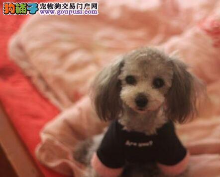正规狗场繁殖精品贵宾犬促销中江门地区购买送狗粮