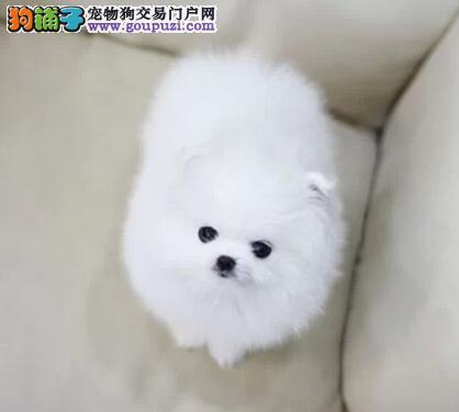 出售多种颜色纯种博美犬幼犬可以送货上门