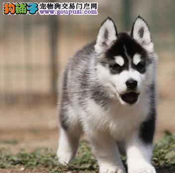 深圳自家犬舍直销价格出售顶级优秀哈士奇 欢迎购买