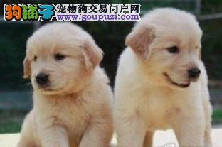 出售顶级优秀深圳金毛犬 驱虫疫苗已做好冠军级血系