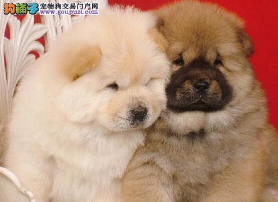 大嘴紫舌纯种松狮犬低价转让中 欢迎来深圳直接挑选