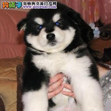 精品高品质阿拉斯加犬幼犬热卖中签正规合同请放心购买
