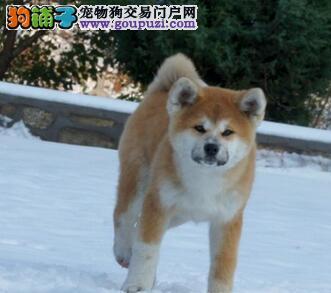 出售精品日系拉萨秋田犬 高品质价格优惠上门购买有礼